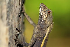 Taiwan beauty - Endemic Species - Taiwan climbing wooden lizard Royalty Free Stock Image