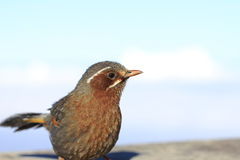Taiwan beauty - Hehuan Mountain-wood thrush Royalty Free Stock Image