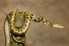 Taiwan Beauty Rat Snake on Brown Stock Photo