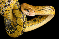 Taiwan Beauty Snake. Stock Images