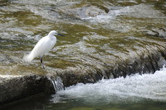 Taiwan Birds (egretta garzetta). Little egret standing to forage in the streams Stock Photography