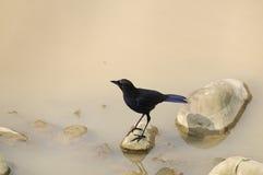 Taiwan Birds (Myiophoneus insularis). Taiwans endemic species birds.Often prey on the mountain stream Stock Photos