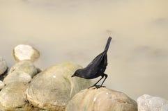 Taiwan Birds (Myiophoneus insularis). Taiwans endemic species birds.Often prey on the mountain stream Royalty Free Stock Photo