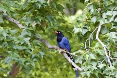 Taiwan Blue Magpie Royalty Free Stock Images