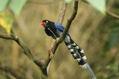 Taiwan Blue Magpie. A Taiwan Blue Magpie catching a frog on it's claw stock photography