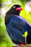 Taiwan Blue Magpie royalty free stock photos