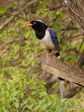 Taiwan blue magpie, Urocissa caerulea Royalty Free Stock Photography