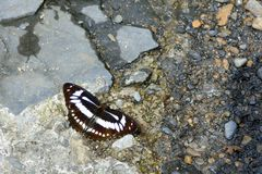 Taiwan Broadband butterfly in water Stock Photography