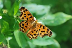 Taiwan Butterfly on a flower. Taiwan Butterfly (Polygonia c-aureum lunulata) on a flower stock images