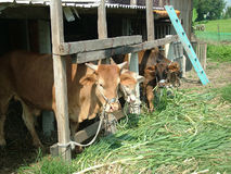 Taiwan cattle. A cattle in a country of Taiwan stock photography