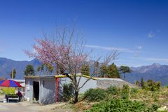 Taiwan, cherry blossom season, Wuling Farm, Qianying Garden, cherry blossom stock photos