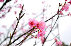 Taiwan Cherry Blossom. (species name: Prunus campanulata Royalty Free Stock Photo