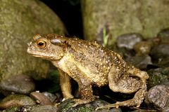 Taiwan Common Toad Royalty Free Stock Images