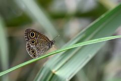 Taiwan corrugated Snake Head Butterfly Royalty Free Stock Images