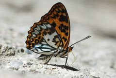 Taiwan endemic butterfly natural soil water suction stock photography