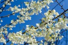 The taiwan endemic flower - Prunus campanulata Maxim. At Nantou stock images