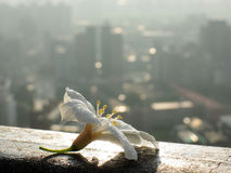 The taiwan endemic flower - Prunus campanulata Maxim. At Nantou stock photography