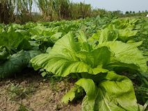 Taiwan farm and Taiwan vegetables. This picture is the farm in Tainan, Taiwan Thank you stock photo