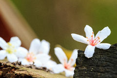 Taiwan flower white wood blossom Stock Photography