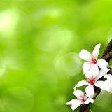 Taiwan flower white wood blossom black yellow outdoor red Royalty Free Stock Image