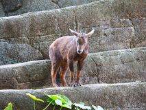 Taiwan goat Stock Images