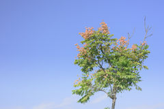 Taiwan Golden-rain Tree Royalty Free Stock Photography