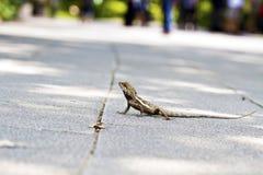 Taiwan Japalura,Swinhoe S Tree Lizard Stock Images
