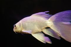 Taiwan Koi. Swimming in the aquarium, very beautiful royalty free stock photos
