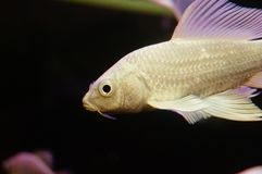 Taiwan Koi. Swimming in the aquarium, very beautiful royalty free stock images