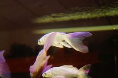 Taiwan Koi. Swimming in the aquarium, very beautiful stock photos