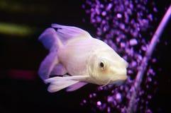 Taiwan Koi. Swimming in the aquarium, very beautiful royalty free stock image