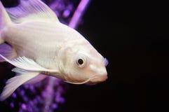 Taiwan Koi. Swimming in the aquarium, very beautiful royalty free stock photo
