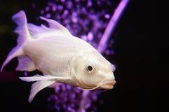 Taiwan Koi. Swimming in the aquarium, very beautiful stock images