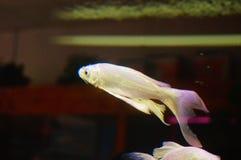 Taiwan Koi. Swimming in the aquarium, very beautiful stock photo