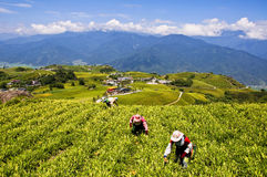 The Taiwan Liushidanshan mining lilies Royalty Free Stock Image