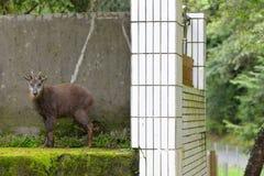 Taiwan long-haired goat. Capricornis swinhoei stock photos