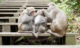 Taiwan macaques Stock Photo