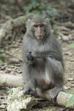 Taiwan macaques of blind eye Royalty Free Stock Photo