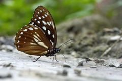 Taiwan markings eye butterfly Royalty Free Stock Image