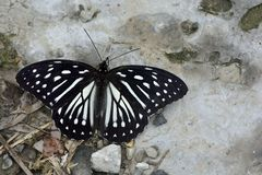 Taiwan markings eye butterfly Royalty Free Stock Images