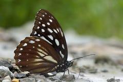 Taiwan markings eye butterfly. Butterfly from the Taiwan (Penthema formosanum) Taiwan markings eye butterfly stock photo