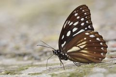 Taiwan markings eye butterfly Royalty Free Stock Photo