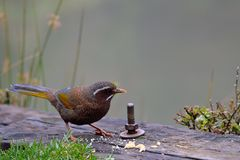 Taiwan noise bird. Garrulax morrisonianus stock photo