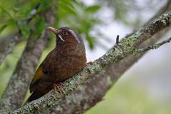 Taiwan noise bird. Garrulax morrisonianus stock photos