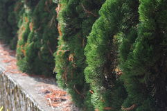 Taiwan pine tree Stock Photos