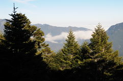 Taiwan pine tree Stock Images
