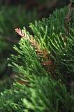 Taiwan pine tree Stock Photography