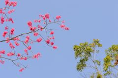 Taiwan pink and white cherry with blue sky in spring. Place for text Royalty Free Stock Images