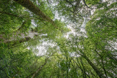 Taiwan-Rot Zypresse Stockbilder