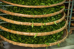 Taiwan's Chiayi City, Long Misato territory of a tea factory workers are hanging Oolong tea (tea first process: dry tea) Royalty Free Stock Images